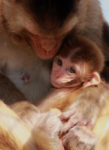 This photo provided by the California National Primate Research Center shows a nursing rhesus macaque monkey in 2013. In a study of hundreds of milk samples, researcher Katie Hinde of Harvard University found that nursing rhesus macaque monkeys made different milk for daughters versus sons. Scientific insights to mother's milk might someday help doctors provide better advice to nursing mothers, or suggest ways to improve infant formula. The studies raise questions for human babies, too, about how to choose the donor milk that's used for hospitalized preemies, or whether to explore gender-specific infant formula. (AP Photo/California National Primate Research Center, Kathy West)