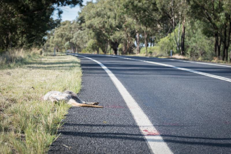 A file picture showing a kangaroo on the side of the road after being hit by a car. Source: Getty/file