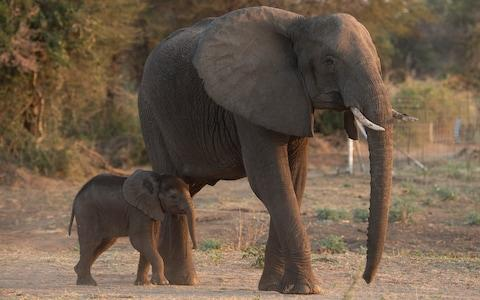 Growing elephant numbers and dwindling resources are creating a bitter interspecies conflict - Credit: Eddie Mulholland