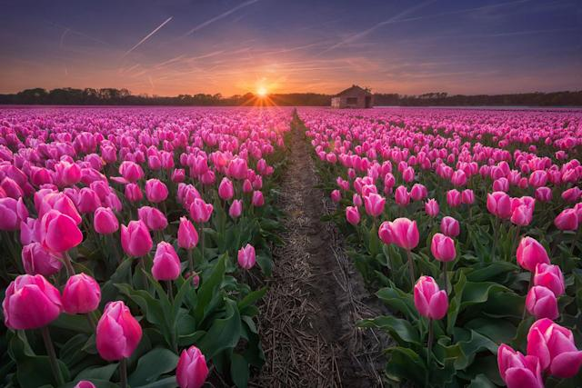 """<p>""""I always try to look for locations with flower fields that line up with sunsets and sunrises to get nice colors in the sky."""" (Photo: Albert Dros/Caters News) </p>"""
