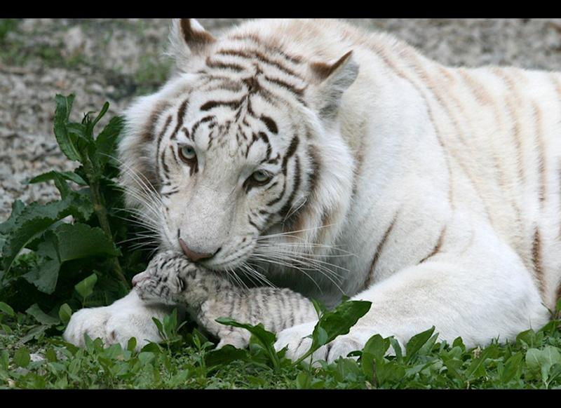 In this handout photo provided by Skazka Zoo, taken May 6, 2012, a female white albino tiger, Tigryulia is seen with her newborn cub at the Skazka Zoo in Yalta, Ukraine. The tiger gave birth to four cubs, including a rare albino tiger. A beautiful white tigress was the symbol of Yulia Tymoshenko's presidential election campaign, representing her ferocious resolve. (AP Photo/Skazka Zoo)