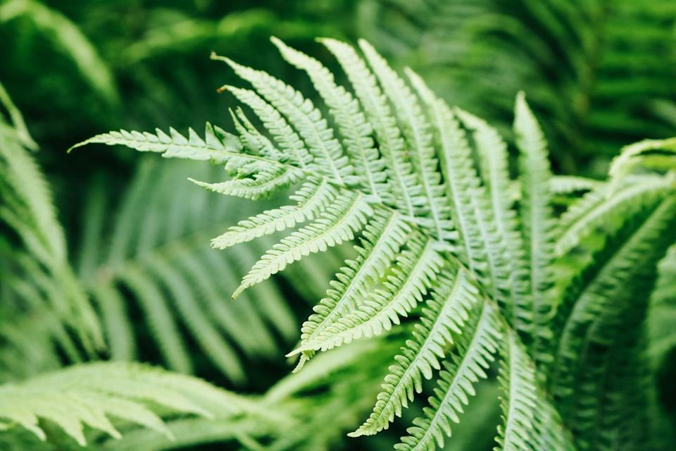 """<p>As well as being child-proof, ferns are beautiful plants which filter the air, too. With intricate foliage and architectural leaf forms, they create a standout look in any <a href=""""https://www.housebeautiful.com/uk/decorate/a36379892/interior-tweaks-happy-home/"""" rel=""""nofollow noopener"""" target=""""_blank"""" data-ylk=""""slk:home"""" class=""""link rapid-noclick-resp"""">home</a>. One of our very favourites...</p><p><a class=""""link rapid-noclick-resp"""" href=""""https://www.jparkers.co.uk/athyrium-mixed-collection-1"""" rel=""""nofollow noopener"""" target=""""_blank"""" data-ylk=""""slk:BUY NOW VIA J PARKER'S"""">BUY NOW VIA J PARKER'S</a></p><p><strong>Like this article? <a href=""""https://hearst.emsecure.net/optiext/cr.aspx?ID=DR9UY9ko5HvLAHeexA2ngSL3t49WvQXSjQZAAXe9gg0Rhtz8pxOWix3TXd_WRbE3fnbQEBkC%2BEWZDx"""" rel=""""nofollow noopener"""" target=""""_blank"""" data-ylk=""""slk:Sign up to our newsletter"""" class=""""link rapid-noclick-resp"""">Sign up to our newsletter</a> to get more articles like this delivered straight to your inbox.</strong></p><p><a class=""""link rapid-noclick-resp"""" href=""""https://hearst.emsecure.net/optiext/cr.aspx?ID=DR9UY9ko5HvLAHeexA2ngSL3t49WvQXSjQZAAXe9gg0Rhtz8pxOWix3TXd_WRbE3fnbQEBkC%2BEWZDx"""" rel=""""nofollow noopener"""" target=""""_blank"""" data-ylk=""""slk:SIGN UP"""">SIGN UP</a></p><p>Love what you're reading? Enjoy <a href=""""https://go.redirectingat.com?id=127X1599956&url=https%3A%2F%2Fwww.hearstmagazines.co.uk%2Fhb%2Fhouse-beautiful-magazine-subscription-website&sref=https%3A%2F%2Fwww.housebeautiful.com%2Fuk%2Fgarden%2Fplants%2Fg36446066%2Fplants-for-kids%2F"""" rel=""""nofollow noopener"""" target=""""_blank"""" data-ylk=""""slk:House Beautiful magazine"""" class=""""link rapid-noclick-resp"""">House Beautiful magazine</a> delivered straight to your door every month with Free UK delivery. Buy direct from the publisher for the lowest price and never miss an issue!</p><p><a class=""""link rapid-noclick-resp"""" href=""""https://go.redirectingat.com?id=127X1599956&url=https%3A%2F%2Fwww.hearstmagazines.co.uk%2Fhb%2Fhouse-beautiful-magazine-subscription-webs"""