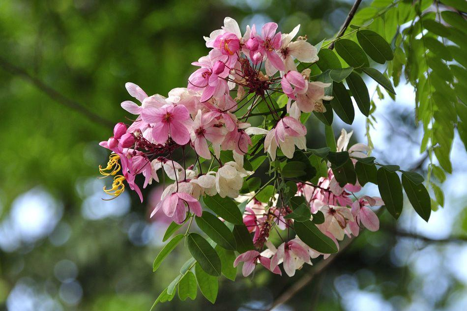 As the name suggests, Java Cassia (Cassia javanica) is a medium-sized tree that originates from Java and Sumatra. It flowers for a short period of time, during April and May but makes up for that with thick clusters of stunning pink blossoms on its drooping branches.The flowers turn white as they fade. Like other Cassias, the fruit pods are cylindrical and can grow up to 60cm in length. The best specimen in the city is near Minsk Square next to the King's Statue. One can also spot several trees in Lalbagh.