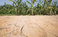 The ground is cracked at the edge of an irrigated corn field near England, Ark., Friday, July 6, 2012. Oppressive heat is slamming the middle of the country with record temperatures that aren't going away after the sun goes down. (AP Photo/Danny Johnston)