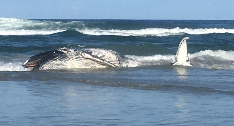 A whale carcass seen on a beach south of Pottsville Bridge in NSW.