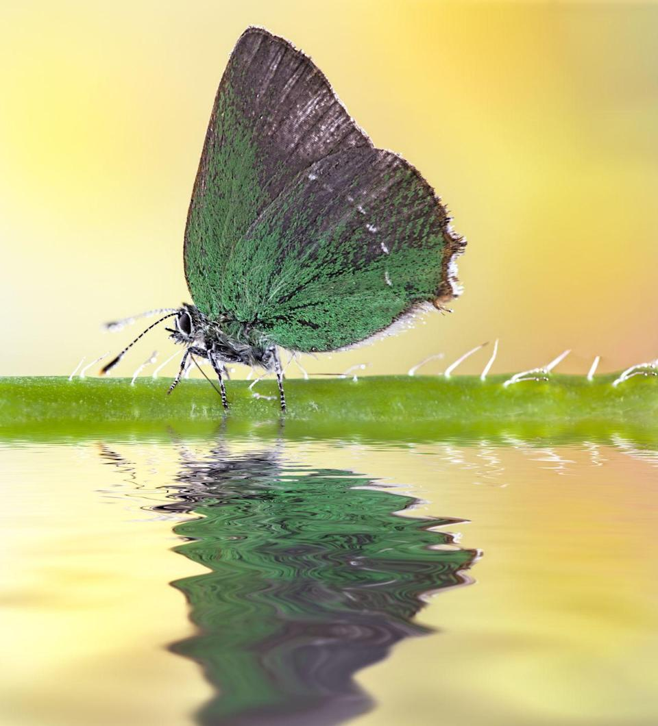 <p><strong>Sheridan's Green Hairstreak</strong></p><p>Not to be confused with Colorado's purple hairstreak, this unusual green butterfly became the state's insect in 2009. </p>