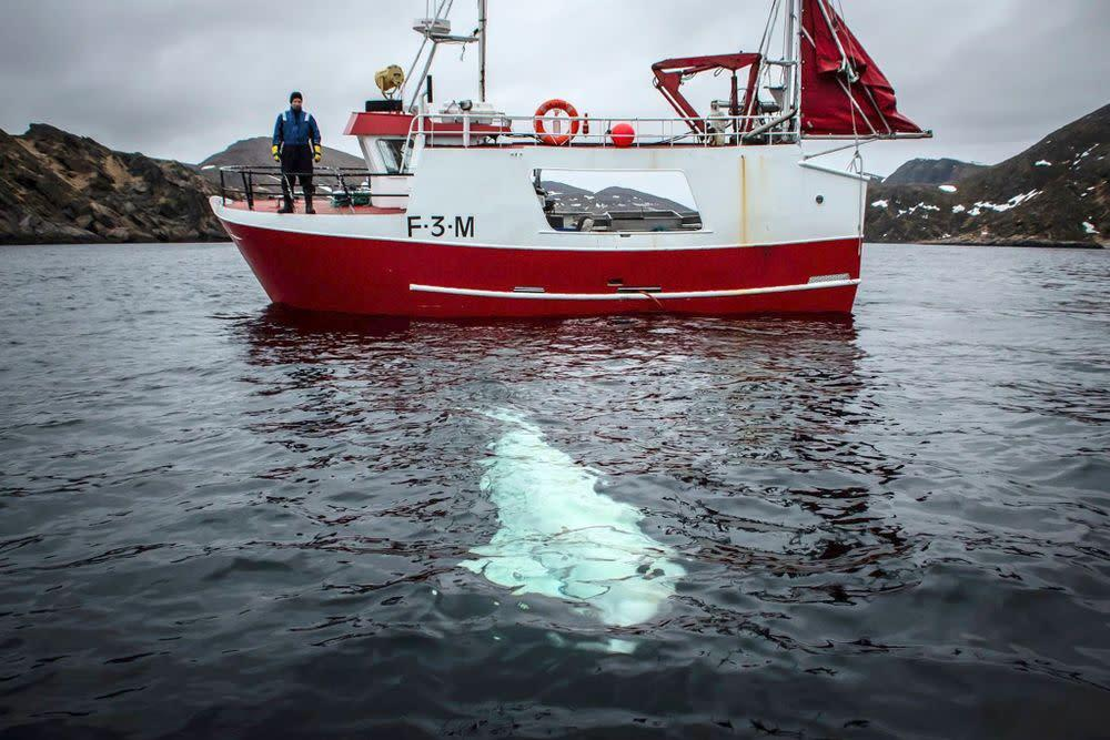 beluga approaching Norwegian ship | Jorgen Ree Wiig/Norwegian Directorate of Fisheries/Handout/EPA-EFE/REX/Shutterstock