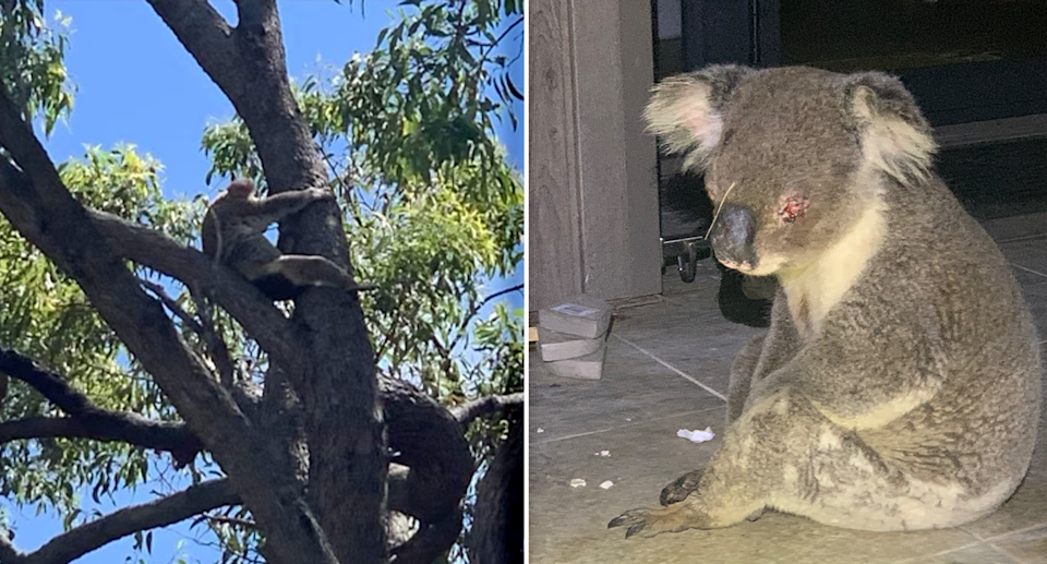 Left - a koala up a tree with a wet bottom. Right - A koala on the ground with red eyes
