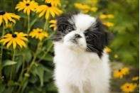 """<p>Also known as the Japanese Spaniel, these dogs are smaller than most spaniel breeds. Animal Planet reports that they <a href=""""http://www.animalplanet.com/breed-selector/dog-breeds/toy/japanese-chin.html"""" rel=""""nofollow noopener"""" target=""""_blank"""" data-ylk=""""slk:run four to seven pounds"""" class=""""link rapid-noclick-resp"""">run four to seven pounds</a> and are less than a foot tall. They may be tiny, but their name """"chin"""" means royalty, which makes them pretty powerful in their own way.</p>"""