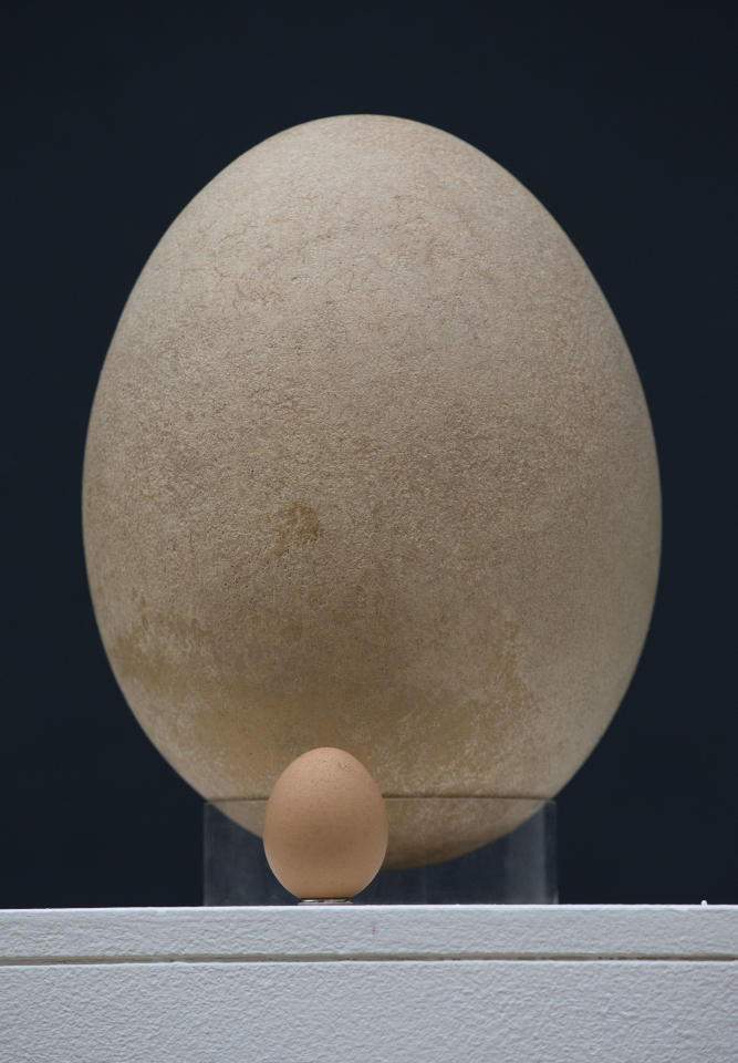 A chicken egg is displayed next to a sub-fossilised pre-17th century Elephant Bird egg to scale the size difference at Christie's auction house's premises in London, Wednesday, March 27, 2013. The Elephant Bird egg, which is estimated to fetch 20,000 to 30,000 pounds ($30,210 to $45,315 and 23,645 to 35,467 euro) in the forthcoming Travel, Science and Natural History sale on April 24, measures over 100 times the average size of a chicken egg, and stands at 21cm in diameter and 30cm in height. The extinct Elephant Bird species was native to Madagascar and among the heaviest known birds. (AP Photo/Matt Dunham)