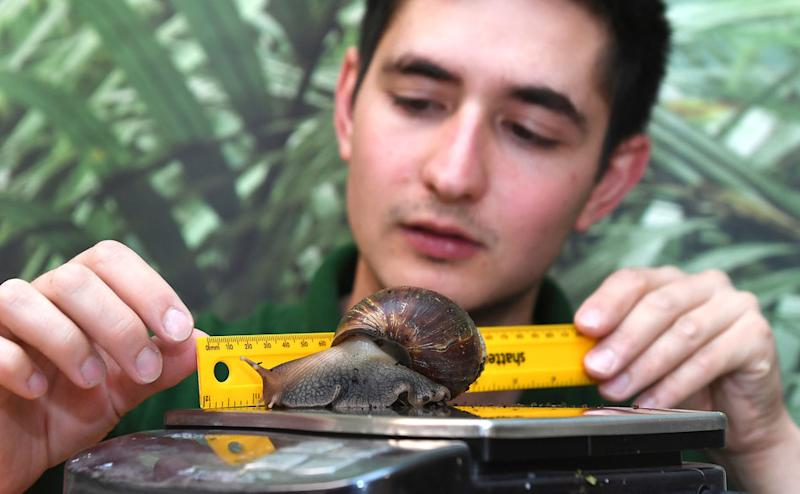A partula snail is weighed and measured by keeper Tom Maunders.