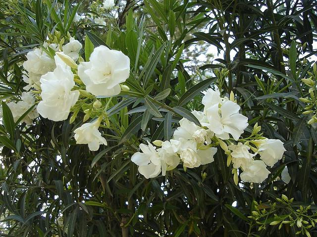 "<strong>Oleander (Nerium oleander)</strong><br /><br /> <strong>Why we grow it:</strong> Its fragrant white buds and thick, dark green leaves make it a popular ornamental shrub for gardens across the country. <br /><br /> <strong>Deadly parts:</strong> The entire plant, including its nectar and sap. <br /><br /> <strong>Toxic toll:</strong> Think twice about growing one of these babies in your yard, especially if you have little ones: A single leaf contains enough toxins to be lethal to an infant or small child. Like other poisonous plans, ingesting it first affects the digestive system with vomiting and diarrhea, then poisoning progresses into life-threatening circulatory problems. If your heart's still ticking after that trauma, oleander can also deal a fatal blow to your central nervous system, causing seizures, tremors, and coma that can lead to death.<br /><br /> <a href=""http://bit.ly/16YIShv"" target=""_blank"">Photo by Flickr user Hovic</a>"