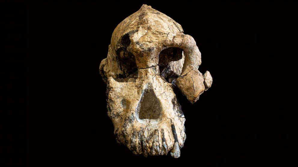 'Remarkably complete' 3 8-million-year-old cranium of human ancestor  discovered in Ethiopia