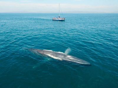 A blue whale is observed at Dana Point, in California. This is the first Whale Heritage Site in North America. Date Created: 18/01/2021. Credit: Dolphin Safari (CNW Group/World Animal Protection)