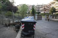 Wild boars eat garbages near trash bins in Rome, Friday, Sept. 24, 2021. They have become a daily sight in Rome, families of wild boars trotting down the city streets, sticking their snouts in the garbage looking for food. Rome's overflowing rubbish bins have been a magnet for the families of boars who emerge from the extensive parks surrounding the city to roam the streets scavenging for food. (AP Photo/Gregorio Borgia)