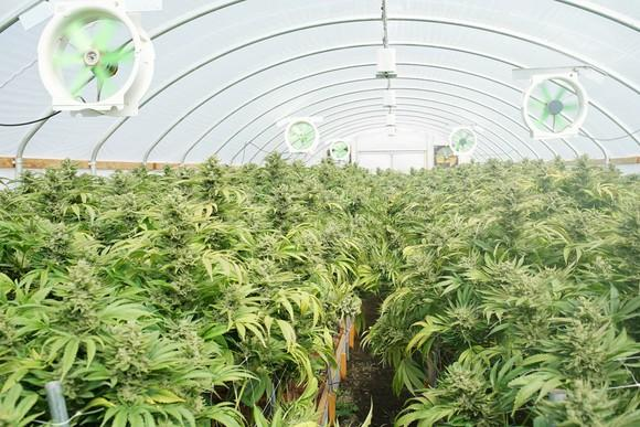 An indoor commercial cannabis grow farm.