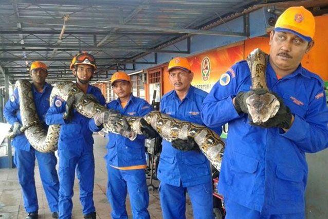 The snake apparently died 'on her own', according to Malaysian officials. Source: Malaysian Civil Defence Force/Herme Herisyam