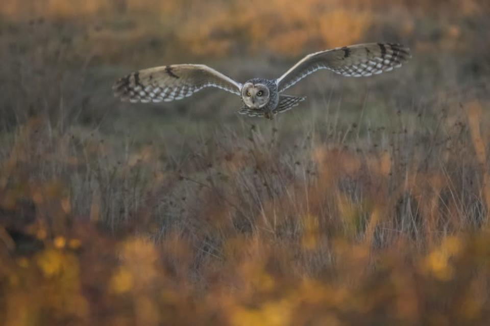 """<p>The competition includes two junior categories to encourage young people to connect with nature through photography. Matthew Roseveare, 18, won the 12-18 category with this picture of a short-eared owl taking in Farlington, Hampshire, called Golden Hour Hunt [Picture: Matthew Roseveare/<a href=""""http://www.bwpawards.org"""" rel=""""nofollow noopener"""" target=""""_blank"""" data-ylk=""""slk:www.bwpawards.org"""" class=""""link rapid-noclick-resp"""">www.bwpawards.org</a>] </p>"""