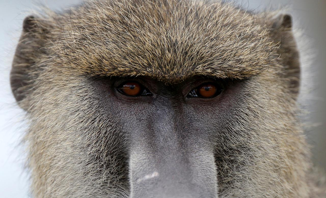 <p>A baboon looks at the road in Amboseli National Park, Kenya, March 18, 2017. (Photo: Goran Tomasevic/Reuters) </p>