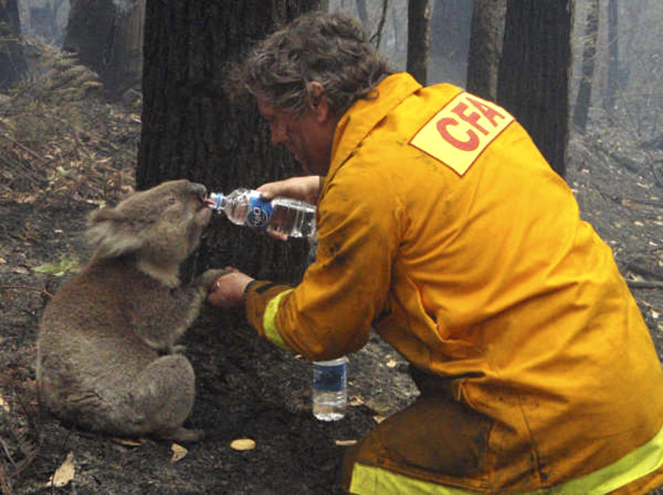 The photo that went viral in 2009 of CFA firefighter David Tree sharing his water with an injured Australian Koala at Mirboo North after wildfires swept through the region. Source: AP