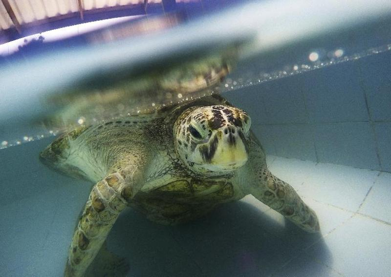 "ADDS THE UPDATE TO THE SECOND SENTENCE - In this Friday, March 3, 2017 photo, the female green green turtle nicknamed ""Bank"" swims in a pool at Sea Turtle Conservation Center n Chonburi Province, Thailand.  The 25-year-old sea turtle in Thailand who swallowed nearly a thousand coins tossed by tourists seeking good luck died Tuesday, March 21, 2017, two weeks after having surgery to remove the coins from its stomach. (AP Photo/Sakchai Lalit)"