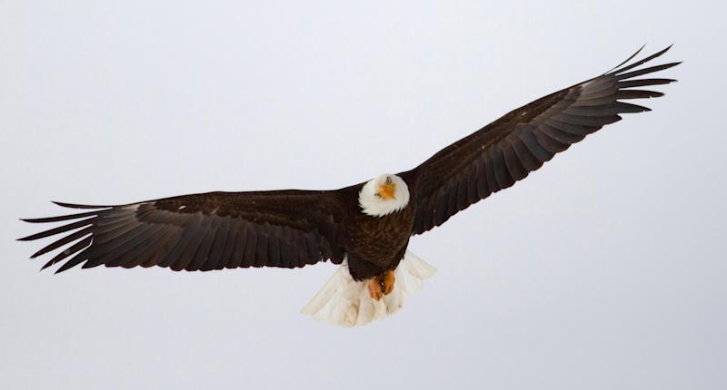 FILE - In this undated photo released by the Utah Division of Wildlife Resources, a bald eagle files in Utah. Proponents credit the Endangered Species Act with staving off extinction for hundreds of species, from the bald eagle and American alligator to the gray whale, but Republicans in Congress say the 40-year-old law meant to protect animals and plants from extinction has become bogged down by litigation and needs to be updated. (AP Photo/Utah Division of Wildlife Resources, Lynn Chamberlain)