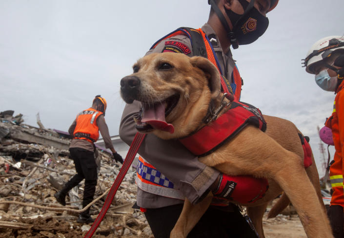 A member of police K-9 squad carries a sniffer dog during a search for victims at a hospital building collapsed in Friday's earthquake in Mamuju, West Sulawesi, Indonesia, Sunday, Jan. 17, 2021. Rescuers retrieved more bodies from the rubble of homes and buildings toppled by the 6.2 magnitude earthquake while military engineers managed to reopen ruptured roads to clear access for relief goods. (AP Photo/Yusuf Wahil)