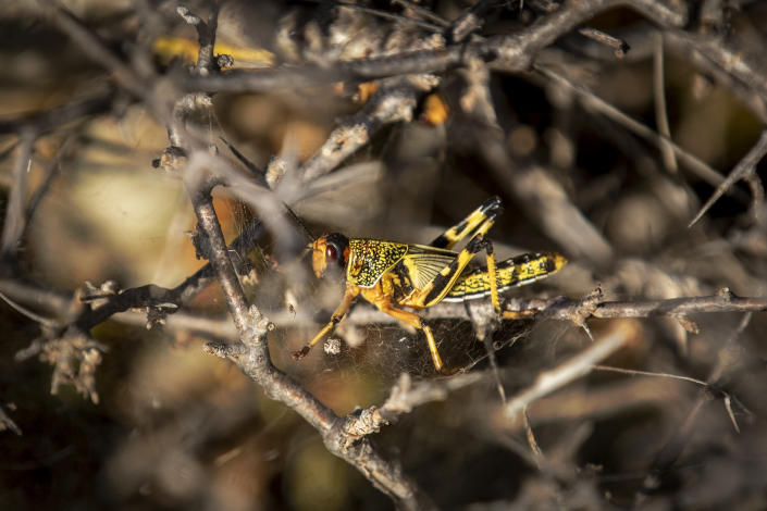 In this photo taken Tuesday, Feb. 4, 2020, a young desert locust that has not yet grown wings is stuck in a spider's web on a thorny bush in the desert near Garowe, in the semi-autonomous Puntland region of Somalia. The desert locusts in this arid patch of northern Somalia look less ominous than the billion-member swarms infesting East Africa, but the hopping young locusts are the next wave in the outbreak that threatens more than 10 million people across the region with a severe hunger crisis. (AP Photo/Ben Curtis)