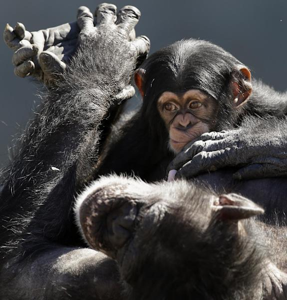 """FILE - This Feb. 19, 2013 file photo shows a mother chimp relaxing with her baby at Chimp Haven in Keithville, La. The Fish and Wildlife Service says it wants to protect chimpanzees as endangered both in captivity and in the wild. The action could affect the use of chimpanzees in medical research. A plan announced Tuesday would do away with a """"split listing"""" that has labeled wild chimps as endangered but those in captivity as threatened, a status that offers less protection. The agency said that if made final, the proposal would require a permit to use chimps in medical research. Interstate sales of chimps also would require a permit. About 2,000 chimps are held in captivity in the United States. The agency said it will work with the National Institutes of Health and zoos to consider implications of the new listing. (AP Photo/Gerald Herbert, File)"""