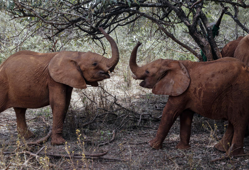 Baby elephants play at the David Sheldrick Wildlife Trust Elephant Orphanage in Nairobi, Kenya Wednesday, Aug. 28, 2019. Countries that are part of an international agreement on trade in endangered species agreed Tuesday to limit the sale of wild elephants, delighting conservationists but dismaying some of the African countries involved. (AP Photo/Khalil Senosi)