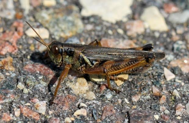 Ranchers have reported seeing as many as 40 grasshoppers per square metre in the area around Vanderhoof, B.C., this year. The insects eat agricultural crops such as wheat and barley, as well as the grass usually munched by cattle. (Dan Johnson/University of Lethbridge - image credit)