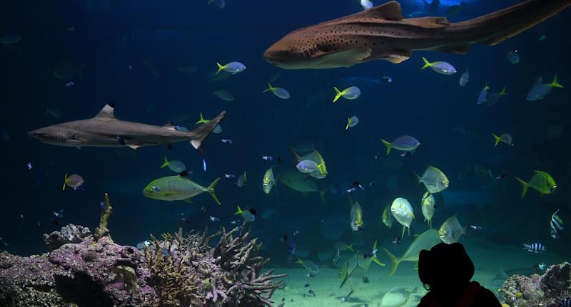 Indian tourist Nikhil Bhatia is accused of kissing a two-year-old boy at Sea Life Sydney Aquarium. Pictured is a stock image of a child looking into a fish tank at the aquarium.