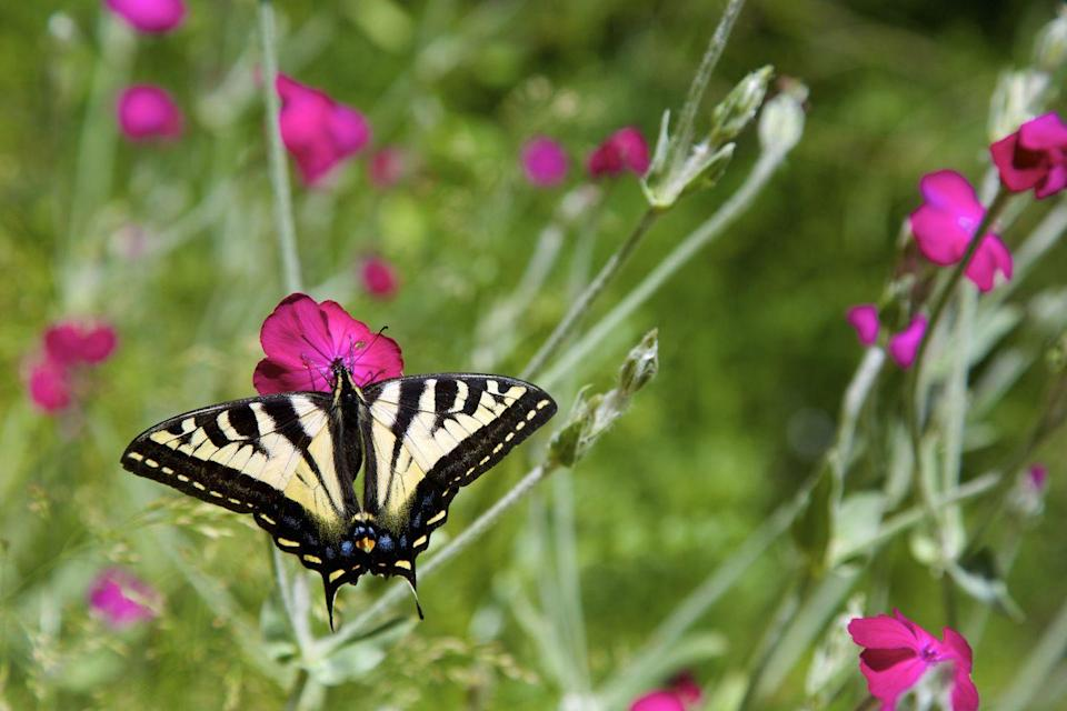 <p><strong>Oregon Swallowtail Butterfly<br><br></strong>This yellow beauty is native to the Pacific Northwest. </p>