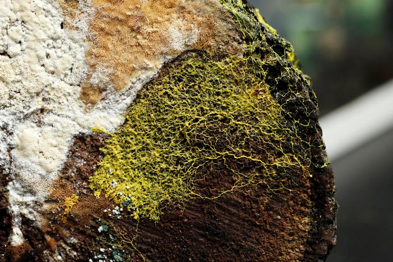 "The ""blob"", slime mould (Physarum polycephalum), a single-celled organism forming over tree chunk, is pictured at the Paris Zoological Park."