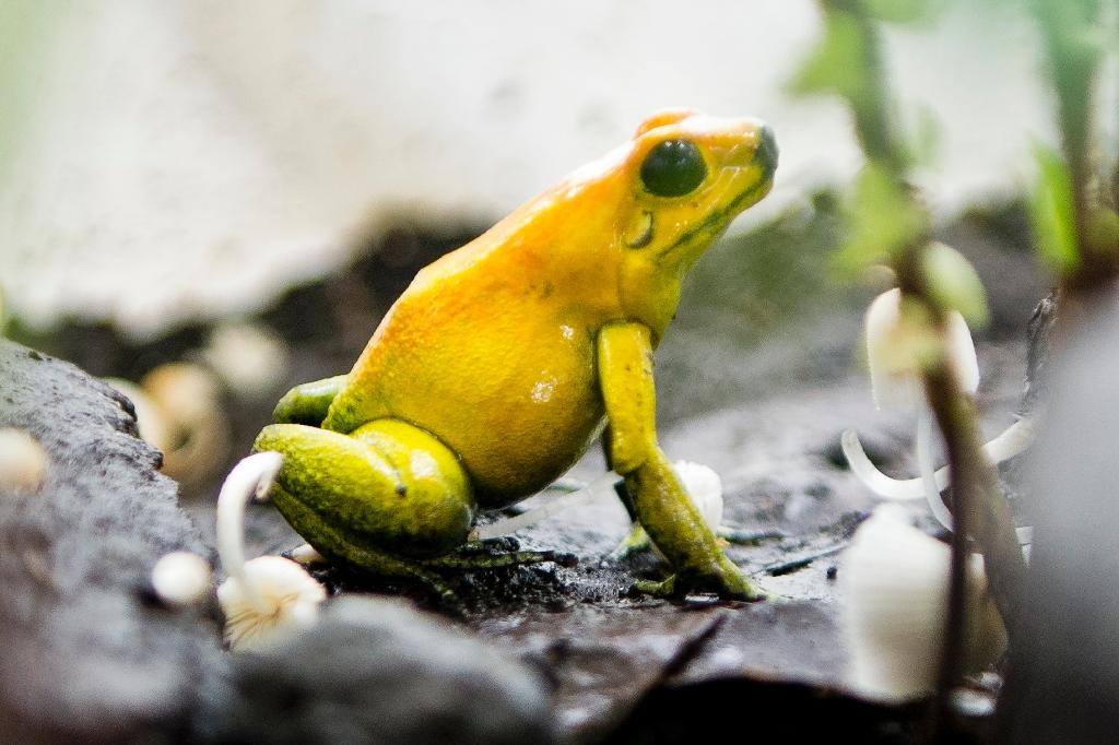 About 41 percent of the world's amphibian species are threatened with extinction (AFP Photo/LUIS ROBAYO)