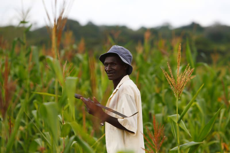 FILE PHOTO: A farmer walks through his field of maize close to the town of Chikuni in the south of Zambia