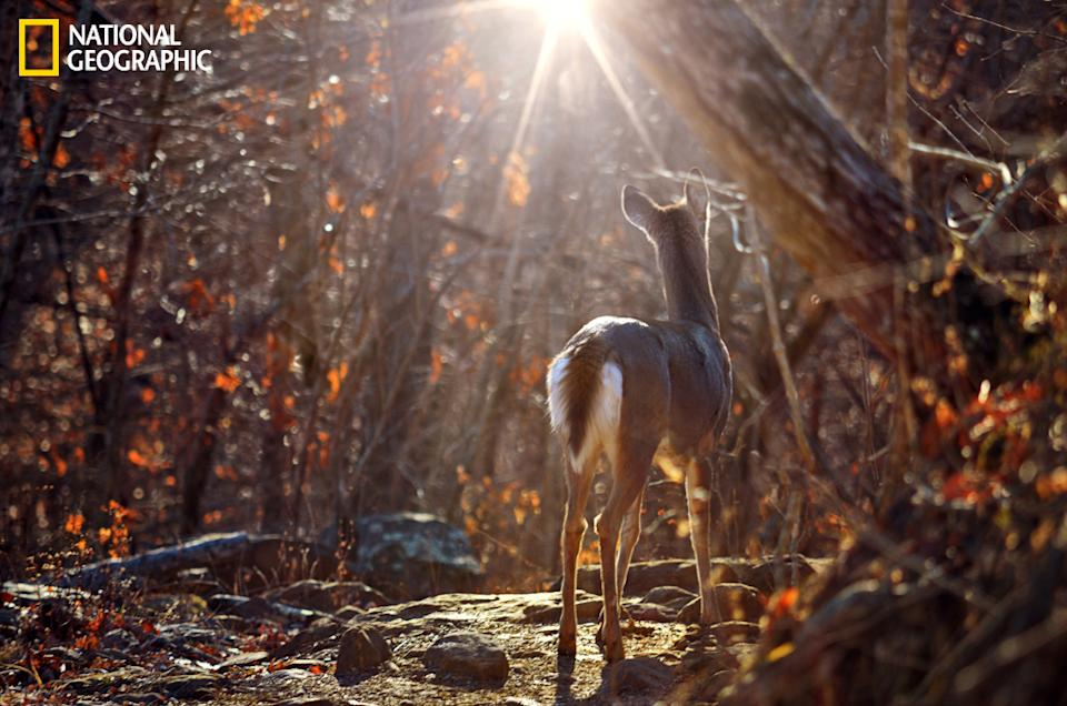 """I found this beautiful whitetail doe unexpectedly down the Centerpoint Trail in the Buffalo River Area of Arkansas. She was standing there like this in the sun and didn't even care that I was there. It's interesting to note that in the 1920s the deer population in Arkansas had diminished to only around 200 but thanks to conservation efforts by the state the population is now estimated to be about a million, making a meeting like this more possible. (Photo and caption Courtesy Jeff Rose / National Geographic Your Shot) <br> <br> <a href=""""http://ngm.nationalgeographic.com/your-shot/weekly-wrapper"""" rel=""""nofollow noopener"""" target=""""_blank"""" data-ylk=""""slk:Click here"""" class=""""link rapid-noclick-resp"""">Click here</a> for more photos from National Geographic Your Shot."""