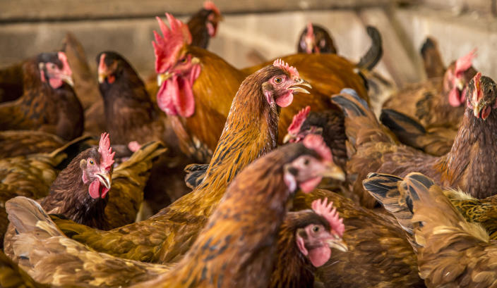 Some 27,000 chickens are to be culled after a bird flu outbreak in Suffolk. (Getty/stock photo)