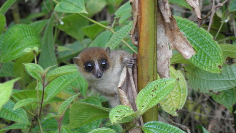 New lemur discovered in Madagascar is already a threatened species