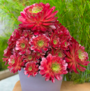 """<p>The third spot was taken by the x Semponium """"Sienna"""" which is reportedly the """"world's first official cross between Sempervivum and Aeonium."""" A truly stunning new variety. </p><p><a class=""""link rapid-noclick-resp"""" href=""""https://surrealsucculents.co.uk/product/x-semponium-sienna/"""" rel=""""nofollow noopener"""" target=""""_blank"""" data-ylk=""""slk:BUY NOW"""">BUY NOW</a> from £35, Surreal Succulents</p>"""