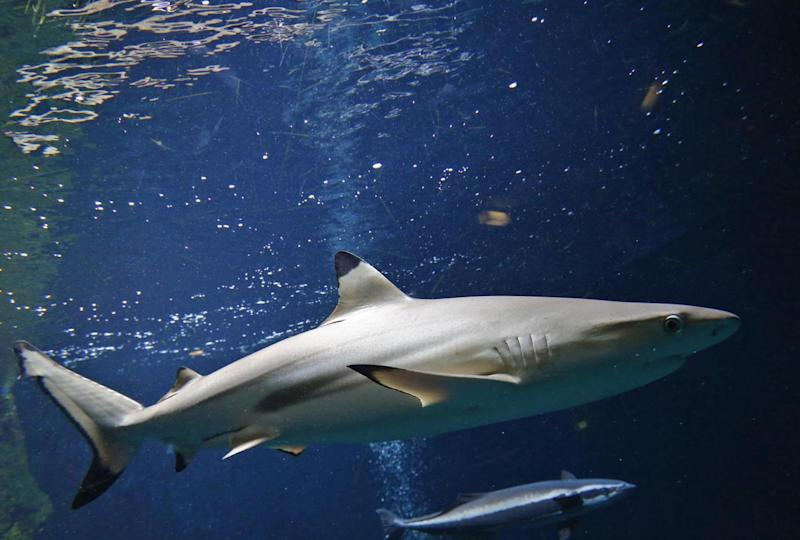 The blacktipped shark gained its name from its black fin (AFP/Getty Images)