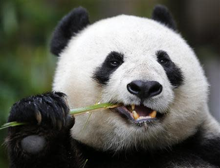 File photo of Giant Panda mother Bai Yun snacking on bamboo at the San Diego Zoo