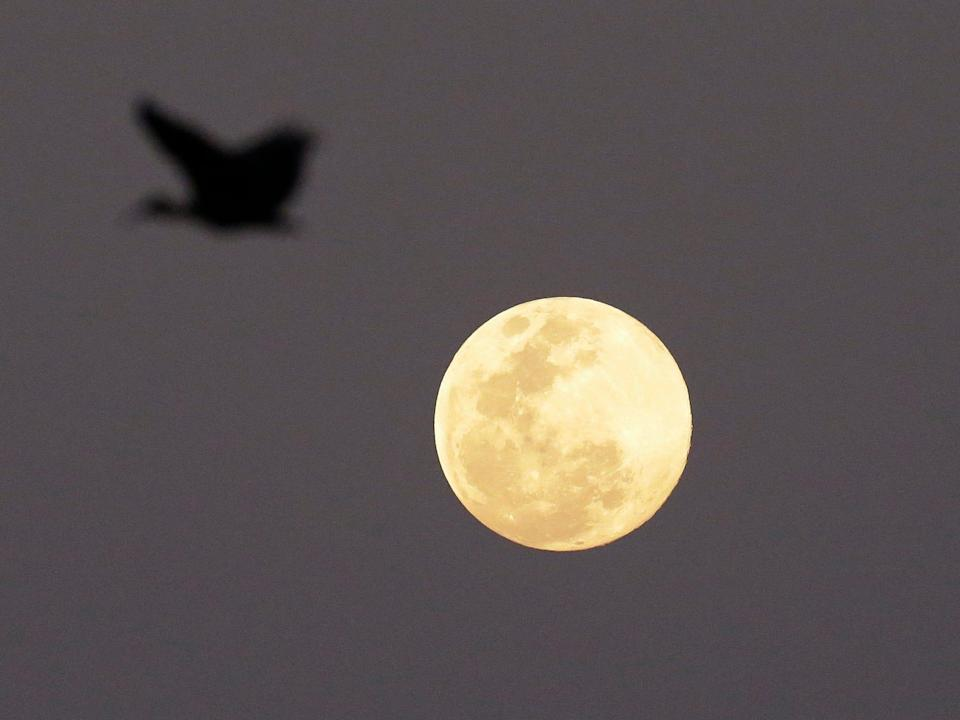 """A Hadeda Ibis bird flies over as the full moon rises in the distance Monday, Sept. 8, 2014, in Johannesburg, South Africa. Monday night's full moon, also known as a Harvest Moon, will be the third and final """"supermoon"""" of 2014. The phenomenon, which scientists call a """"perigee moon,"""" occurs when the moon is near the horizon and appears larger and brighter than other full moons."""