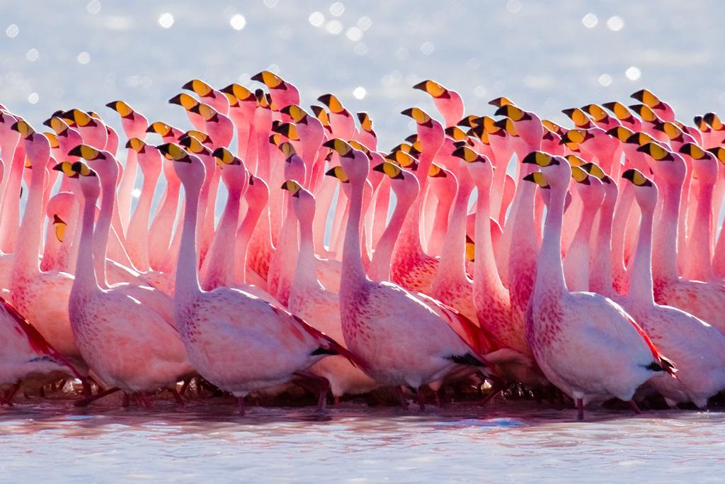 <b>Andean Flamingo</b> (Phoenicoparrus andinus)<br>Altiplano, Andes, Chile<br><br>An Andean Flamingo's nest is created entirely out of mud. She digs the mud with her beak, smoothes out the mound with her feet and then builds a cone on top and a moat around the nest.