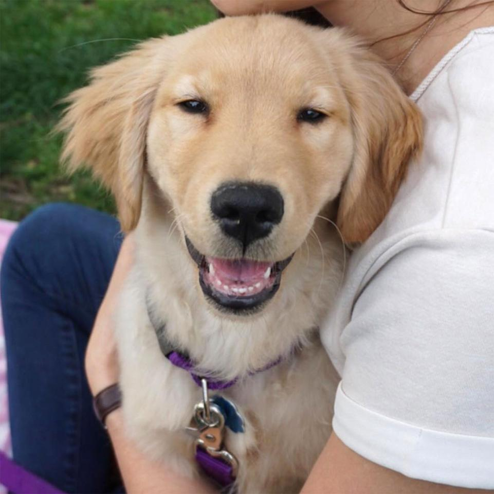 golden retrievers make better pets than Golden retrievers: one of the favorite service dog breeds service dog breeds are varied, but golden retrievers are one of the favorite breeds due to their intelligence, trainability, gentleness and loyalty.