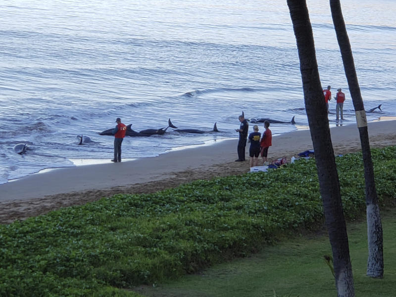 Hawaii Whales Stranded