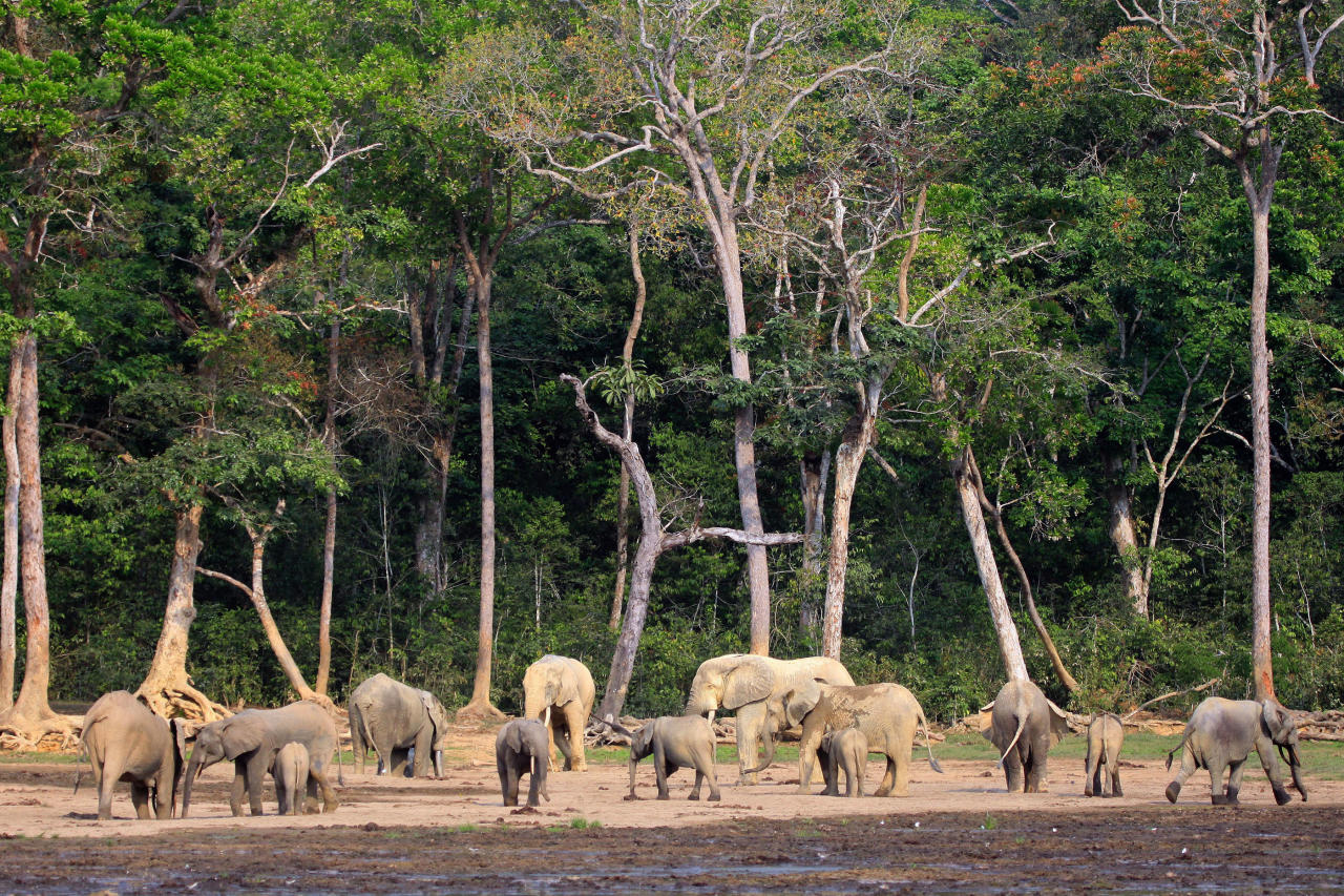 In this Jan. 27, 2012 photo released by WWF-Canon, forest elephants gather at Dzanga Bai clearing in the Dzanga-Sangha reserve, in Central African Republic. Elephant meat is flooding food markets in villages near the famed wildlife reserve in Central African Republic one month after rebels believed to be involved in poaching overthrew the government, conservationists said Thursday, April 25, 2013. The Dzanga-Sangha reserve in the rainforests of southwestern Central African Republic has been home to more than 3,400 forest elephants. Now the political chaos unleashed by a rebellion that overthrew Central African Republic's president of a decade has enabled elephant poachers to further their slaughter.(AP Photo/Carlos Drews, WWF-Canon) MANDATORY CREDIT