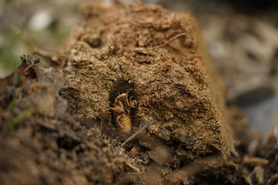 A cicada nymph is seen in an emergence tunnel in a shovel of dirt in a suburban backyard in Columbia, Md., Tuesday, April 13, 2021. America is the only place in the world that has periodic cicadas that stay underground for either 13 or 17 years, says entomologist John Cooley of the University of Connecticut. (AP Photo/Carolyn Kaster)