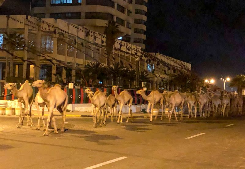 Imported camels evacuated from Libya's capital after port comes under fire