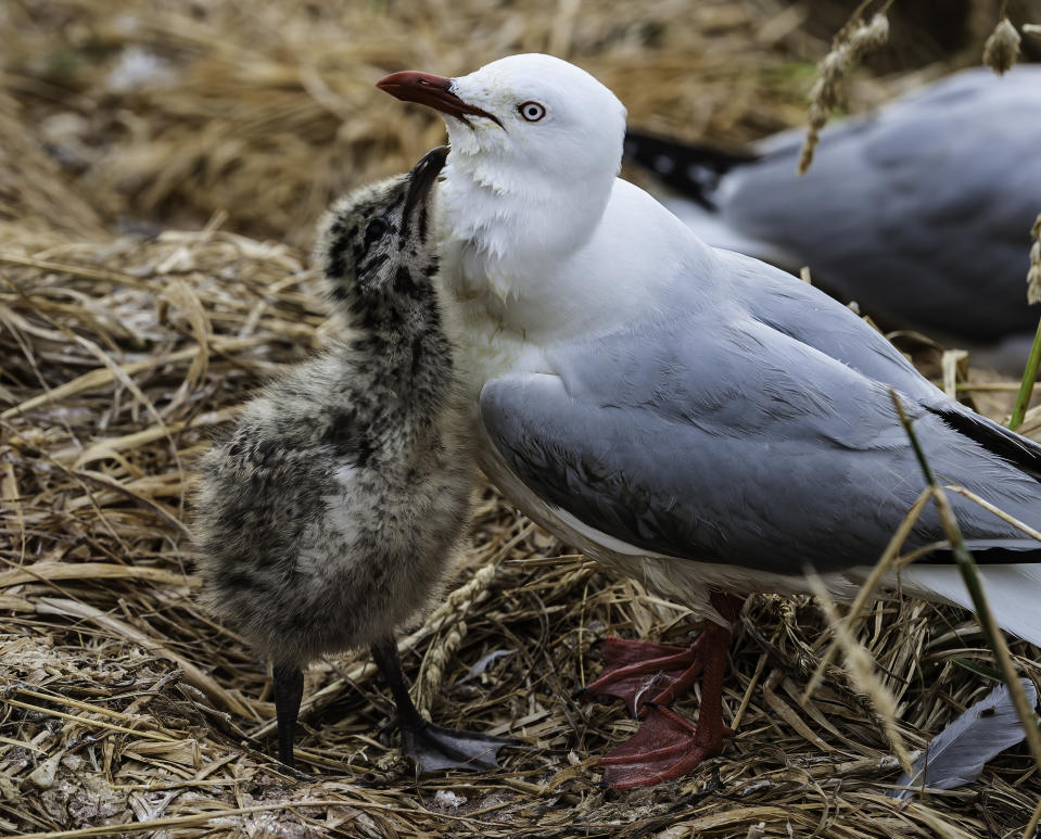A red-billed gull and its chick.